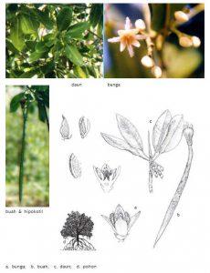 bakau-kurap-rhizopirus-mucronata